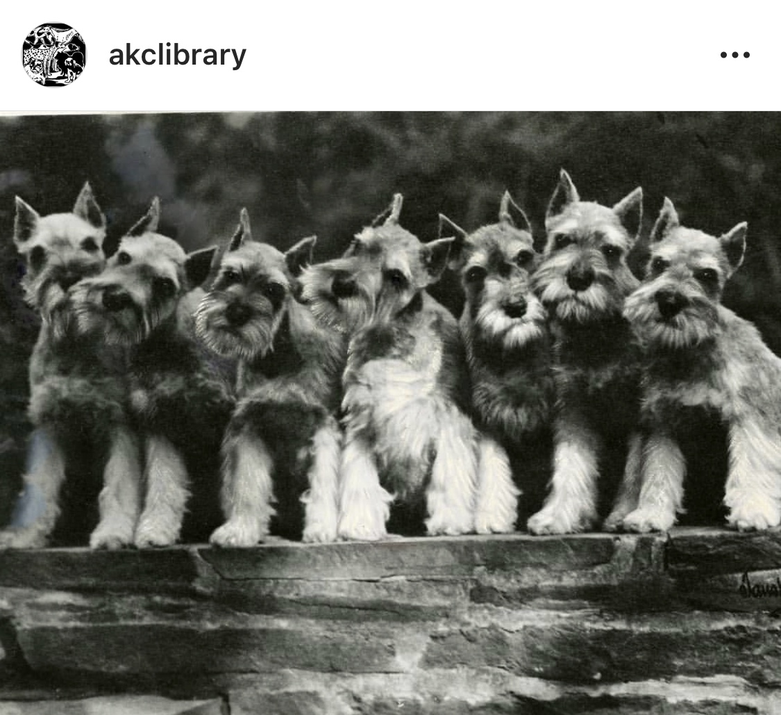 Screenshot of American Kennel Club Library instagram post, black and white portrait photograph of seven Miniature Schnauzers sitting.